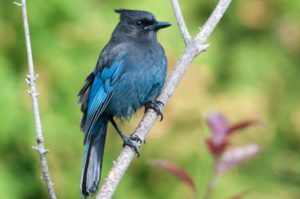 British-Columbia-Day Church The Steller's Jay is the provincial bird of British Columbia. ©iStockphoto.com/BirdImages